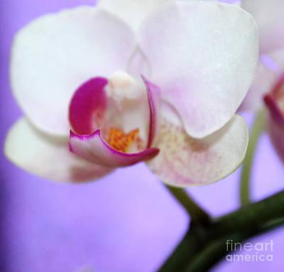Pure Orchid Print by Krissy Katsimbras