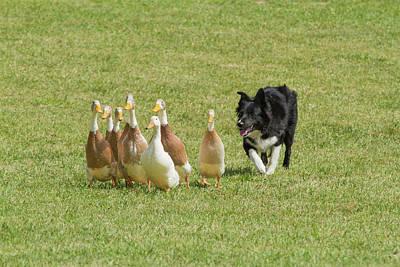Purebred Border Collie Herding Ducks Print by Piperanne Worcester