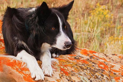 Purebred Border Collie Laying On Moss Print by Piperanne Worcester