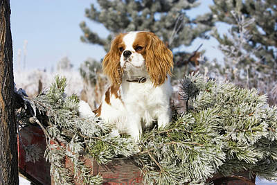 Purebred Cavalier King Charles Spaniel Print by Piperanne Worcester