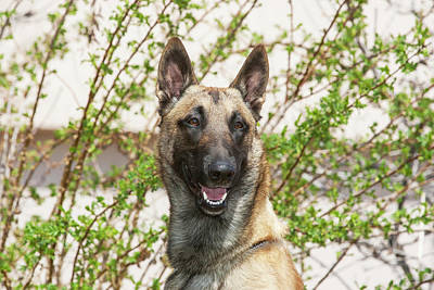Purebred Malinois In Front Of Bushes Print by Piperanne Worcester