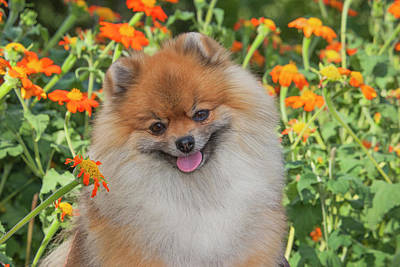 Pomeranian Photograph - Purebred Pomeranian Sitting Among by Piperanne Worcester