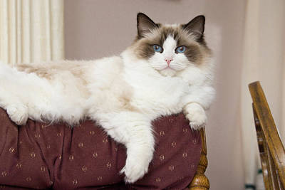 Doll Photograph - Purebred Rag Doll Cat Lounging by Piperanne Worcester