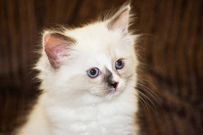 Doll Photograph - Purebred Rag Doll Cat by Piperanne Worcester
