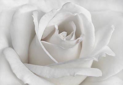 Ivory Rose Photograph - Purity Of A White Rose Flower by Jennie Marie Schell