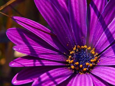 Osteospermum Photograph - Purple African Daisy Close Up by Tracey Harrington-Simpson