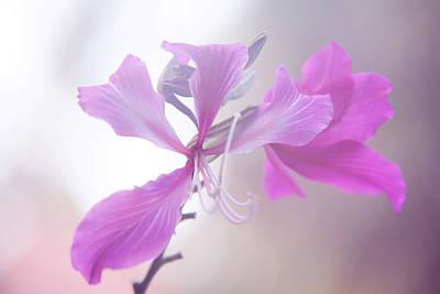 Purple Bauhinia. Flowers Of India Print by Jenny Rainbow