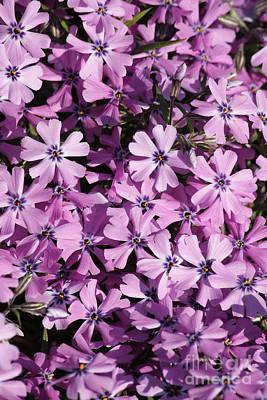 Purple Beauty Phlox Print by Carol Groenen