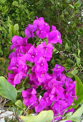 Tropical Photograph - Purple Bougainvillea by Aimee L Maher Photography and Art Visit ALMGallerydotcom