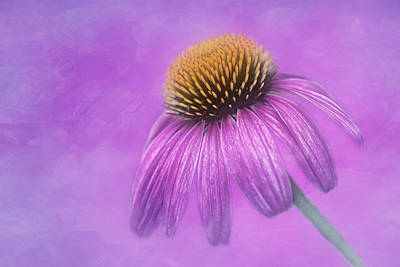 Purple Coneflower - Echinacea Purpura Print by Nikolyn McDonald
