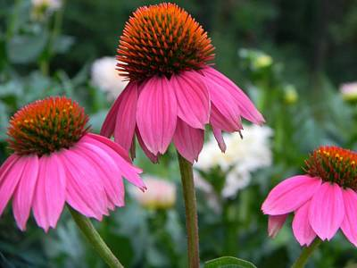 Floral Photograph - Purple Coneflowers by Tammy Garner