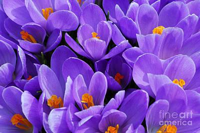 Purple Crocus Print by Elena Elisseeva