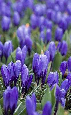 Crocus Flowers Photograph - Purple Crocuses by Juli Scalzi