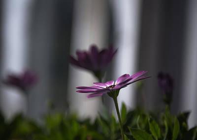 Osteospermum Photograph - Purple Daisies by Chris Fletcher
