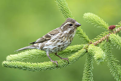 Photograph - Purple Finch Female Canada by Scott Leslie