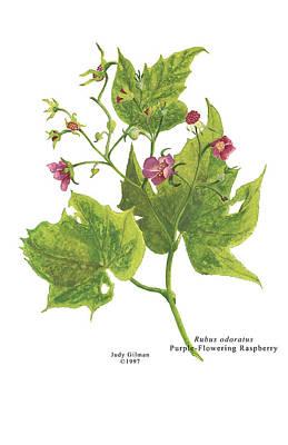 English Gouache Painting - Purple Flowering Raspberry by Judy Gilman