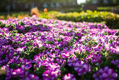 Osu Photograph - Purple Flowers On The Campus Of Oklahoma State by Nathan Hillis