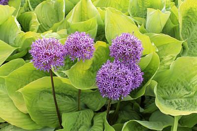 Allium Hollandicum Photograph - Purple Globes  by Marina Kojukhova
