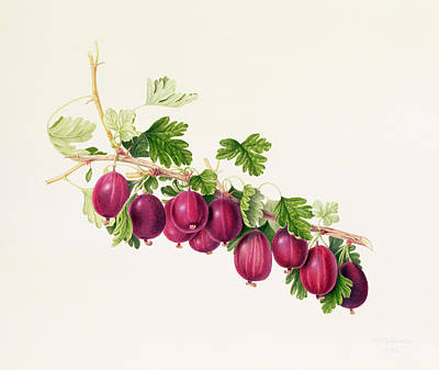 Purple Gooseberry Print by William Hooker