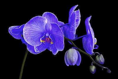 Purple Haze - Orchid Print by Joseph Erbacher
