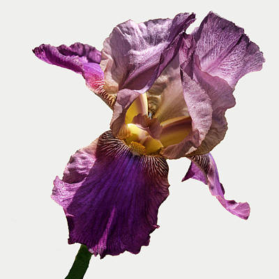 Irises Digital Art - Purple Iris by Camille Lopez