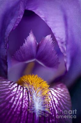 Irises Digital Art - Purple Iris Macro Textured 1 by Sharon Talson