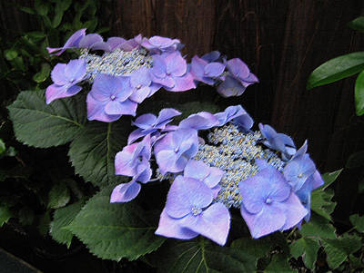 Purple Lacecap Hydrangea Print by Suzanne Gaff