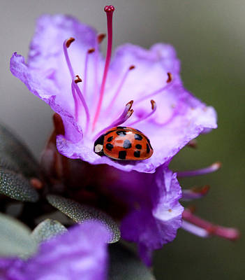 Ladybugs Photograph - Purple Lady by Aaron Aldrich