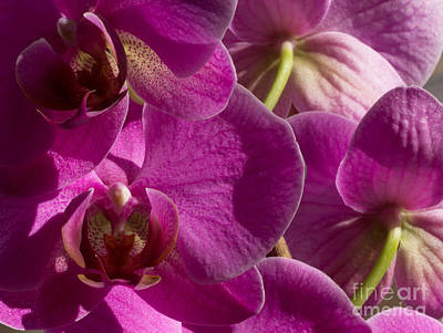 Orchid Photograph - Purple Orchid Flowers Closeup by Kerstin Ivarsson