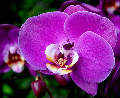Purple Orchid Print by Rona Black