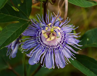 Passionflower Digital Art - Purple Passion Flower by Chris Flees