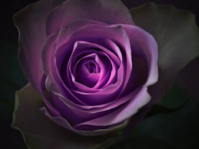 Purple Rose Flower - Macro Flower Photograph Print by Artecco Fine Art Photography