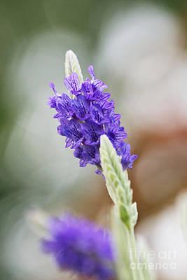 Flowers Photograph - Purple Sage by Pamela Gail Torres
