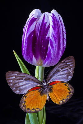 White Tulip Photograph - Purple Tulip And Butterfly by Garry Gay