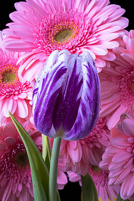 White Tulip Photograph - Purple Tulip And Pink Daisies by Garry Gay