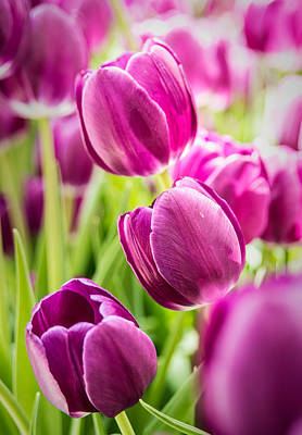 Purple Tulip Garden Print by  Onyonet  Photo Studios