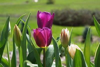 Purple Tulips Garden Art Print Tulip Flowers Print by Baslee Troutman