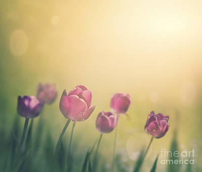 Purple Tulips Print by Mythja  Photography