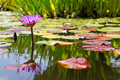 Lilly Pads Photograph - Purple Water Lily Flower In Lily Pond by Susan  Schmitz