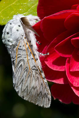 Moth Photograph - Puss Moth On Red Camellia by Mr Bennett Kent