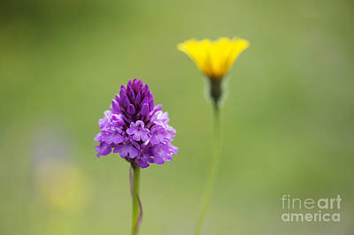 English Countryside Photograph - Pyramidal Orchid by Tim Gainey