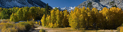 Aspen Tree Fall Colors Photograph - Quaking Aspens Populus Tremuloides by Panoramic Images