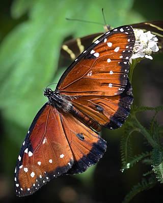 Flower Photograph - Queen Butterfly by Adam Romanowicz
