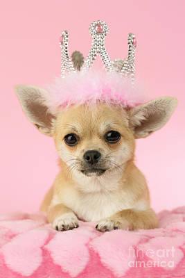 Pup Digital Art - Queen Chihuahua by Greg Cuddiford