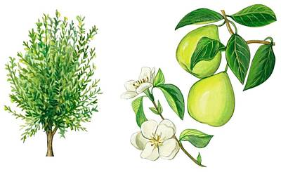 Food And Beverage Drawing - Quince Tree by Anonymous