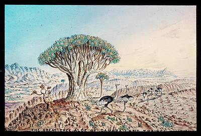 Quiver Tree And Ostriches Print by Gustoimages/science Photo Libbrary