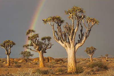 Quiver Trees And Rainbow Namib Desert Print by Theo Allofs