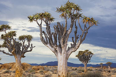 Quiver Trees And Stormy Sky Namib Print by Theo Allofs