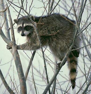 Raccoon Photograph - Up A Tree by Ellen Henneke