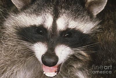 Raccoon Photograph - Raccoon by Art Wolfe